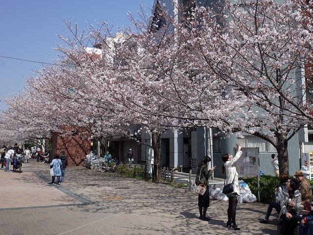 kooisuijinsakura02.JPG